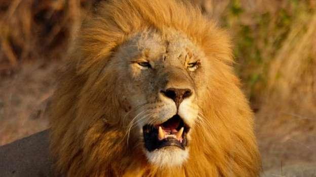 A Lion near our home!